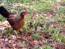 FERAL_CHICKENS