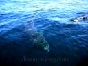 shark_chuck