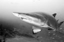 Proteus_shark_bw3
