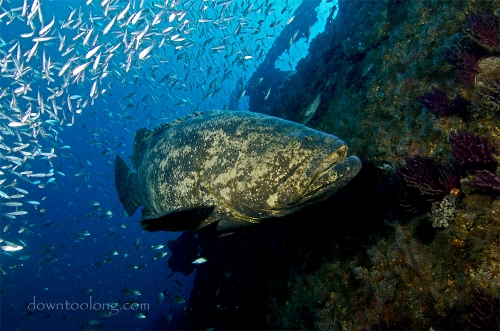 Goliath grouper on the wreck of the DIXIE ARROW